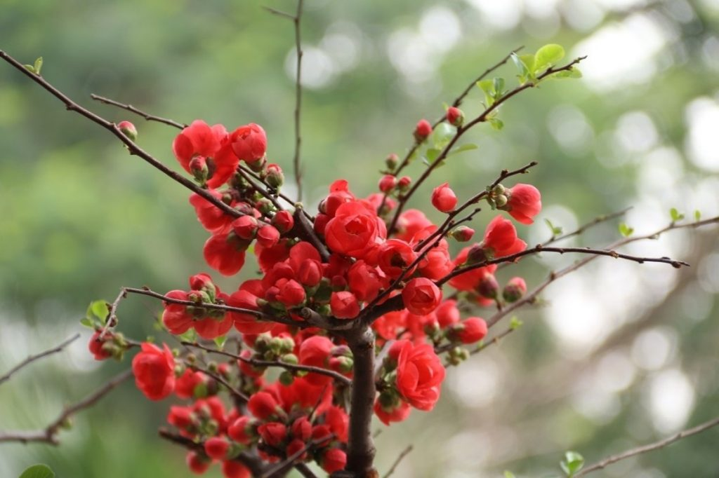 van chuyen hoa dao, hoa mai chung Tet