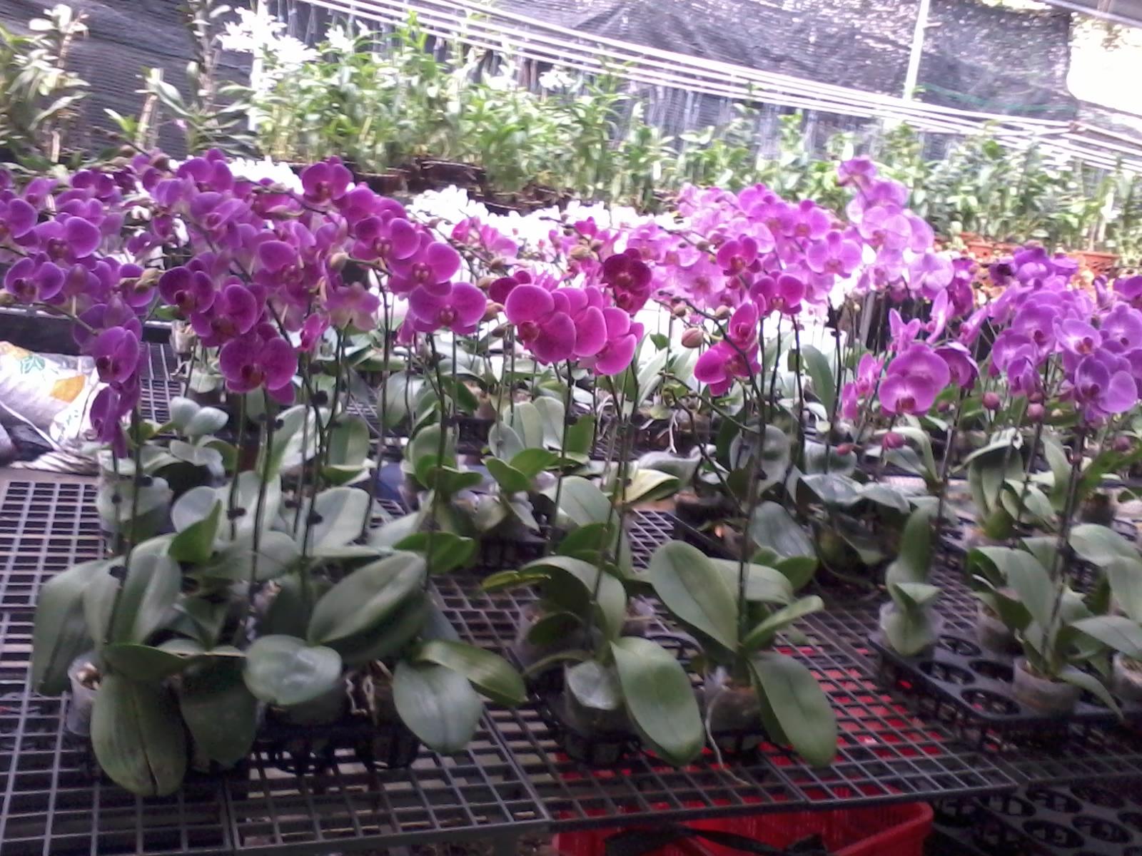 van chuyen hoa lan dip tet tu da lat di thai binh nhanh chong
